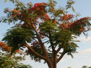 A ''''Delonix regia'''', também conhecida por flor-do-paraíso, pau-rosa; espécie de árvore só existente em Angola